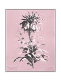 Dussurgey Imperiale on Pink Poster por  Dussurgey