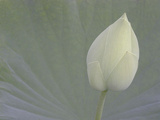 Lotus Detail VI Fotografisk tryk af Jim Christensen