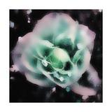 Evening Rose I Print by Danielle Harrington