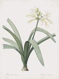 Pancratium Illyricum Prints by Pierre Joseph Redoute