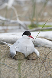 Portrait of an Arctic Tern, Sterna Paradisaea, and Her Chicks on an Arctic Ocean Beach Photographic Print by Peter Mather