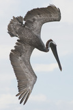 A Brown Pelican Dives for Food Photographic Print by Jeff Mauritzen