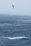 Black-Browed Albatross Flying in Gale Force Winds over a Stormy Sea Photographic Print by Ralph Lee Hopkins