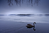 A Lone Whooper Swan Rests at the Edge of a Lake 写真プリント : Charlie Hamilton James