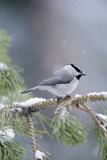 A Mountain Chickadee (Parus Gambeli) Weathers a Winter Snow in a Pinetree Fotografisk trykk av Michael S. Quinton