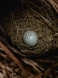 A House Sparrow Nest and Egg Photographic Print by Rebecca Hale