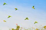 A Group of Peach-Fronted Parakeets, Eupsittula Aurea, in Flight Fotografisk tryk af Edson Vandeira