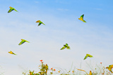 A Group of Peach-Fronted Parakeets, Eupsittula Aurea, in Flight Photographic Print by Edson Vandeira