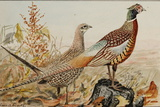 A Painting of Male and Female Ring-Necked Pheasants Plakater af Louis Agassi Fuertes