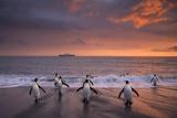 King Penguins in Surf at Twilight Fotoprint van Ralph Lee Hopkins