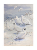 Painting of Different Ptarmigan Species in Winter Plumage Affiche par Allan Brooks