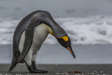 A King Penguin, Aptenodytes Patagonicus, Stands on a South Georgia Island Beach Photographic Print by Cristina Mittermeier