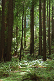 Fern in Muir Woods, Marin Headlands, California Impressão fotográfica por Anna Miller