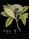 Vintage Botanicals III - Noir Giclee Print by Nathaniel Wallich