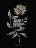 Verbena Coccinea - Luxe Giclée-tryk af A. Poiteau