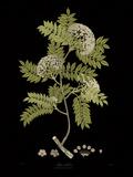 Vintage Botanicals I - Noir Giclee Print by Nathaniel Wallich
