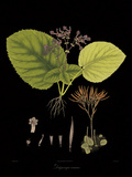Vintage Botanicals II - Noir Giclee Print by Nathaniel Wallich
