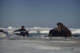 Chukchi Sea, Arctic Ocean. A researcher stretches to attach a tracking device to a walrus. Fotografie-Druck von Bill Curtsinger