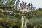 British Columbia, Canada. A coastal wolf investigate a photographer's camera. Fotografisk tryk af Ian McAllister