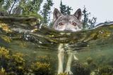 British Columbia, Canada. A coastal wolf investigate a photographer's camera. Fotoprint van Ian McAllister