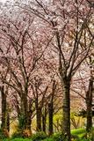 Cherries in Bloom Fotografie-Druck von Chuck Burdick