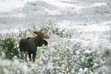 A Bull Moose on a Snow Covered Hillside Fotografisk tryk af Rich Reid