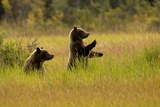 A Pair of Brown Bears Standing and Sitting in a Meadow Fotografisk trykk av Roy Toft