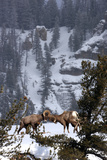 Bighorn Sheep Rams, Ovis Canadensis, Butting Heads for Dominance Stampa fotografica di Robbie George
