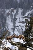 Bighorn Sheep Rams, Ovis Canadensis, Butting Heads for Dominance Lámina fotográfica por Robbie George