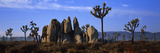 Joshua Trees Grow Among Rock Formations Photographic Print by Bill Hatcher