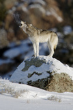 A Gray Wolf's Breath Is Visible as it Calls Out to its Pack Photographic Print by Barrett Hedges