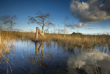 The Curved Trunk of a Cypress Tree in Florida's Everglades National Park 写真プリント : Keith Ladzinski