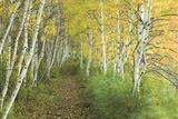 A Sedge-Lined Trail Through a Birch Forest Fotografisk trykk av Michael Melford