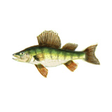 Illustrated Yellow Perch Print by Rick Novak