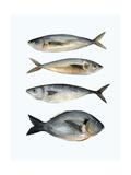 Four Fish I Premium Giclee Print by Emma Scarvey