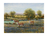 Field of Cattle II Premium Giclee Print by Tim O'toole