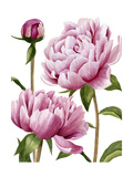 Winsome Peonies I Prints by Grace Popp