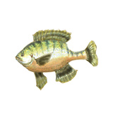Illustrated Bluegill Prints by Rick Novak