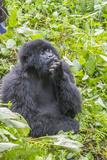Rwanda, Volcanoes National Park, Ruhengeri, Kinigi. Mountain gorilla. Reproduction photographique par Emily Wilson
