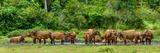African forest buffalo, Syncerus caffer nanus, in Lango Bai. Odzala-Kokoua National Park. Congo Fotografisk tryk af Roger De La Harpe