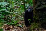 Western lowland gorilla in Marantaceae forest. Odzala-Kokoua National Park. Congo Fotografisk tryk af Roger De La Harpe