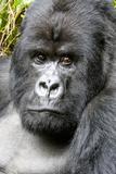 Africa, Rwanda, Volcanoes National Park. Portrait of a silverback mountain gorilla. Fotografisk trykk av Ellen Goff