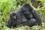 Africa, Rwanda, Volcanoes National Park. Female mountain gorilla with young by her side. Lámina fotográfica por Ellen Goff