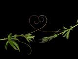 Passionvine Heart Fotografie-Druck von Doris Mitsch
