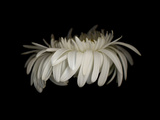 Daisy 10: White Gerbera Daisy Fotografisk tryk af Doris Mitsch