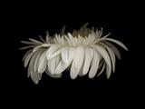 Daisy 10: White Gerbera Daisy Fotografie-Druck von Doris Mitsch