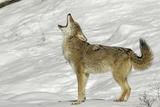 Coyote howling in winter, Montana Fotografie-Druck von Adam Jones