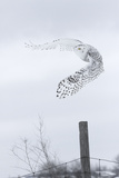 Canada, Ontario. Female snowy owl in flight. Fotoprint van Jaynes Gallery