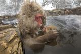 Japan, Jigokudani Monkey Park. Japanese macaque with nursing baby. Fotografisk trykk av Jaynes Gallery