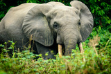 African forest elephant. Odzala-Kokoua National Park. Congo Fotografisk tryk af Roger De La Harpe